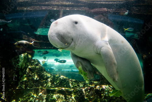 Fotografía Cute dugong having lunch looking at camera
