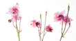 Leinwandbild Motiv aquilegia flower on the white background