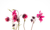 Fototapeta Kwiaty - columbine flower on the white background