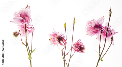 aquilegia flower on the white background