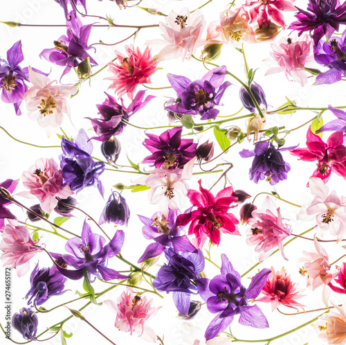 Photo aquilegia flowers on the white background