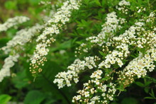 Small, White Flowers In Sumptuous Clusters Along Leafy Spirea Shrub Branches.