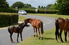 New Forest Ponies On The Roadside At Beaulieu In Hampshire