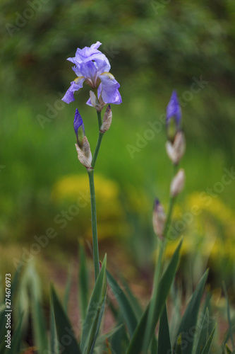 Fototapeta Flower of Blue Lilac Bearded Iris on Stalk. obraz na płótnie