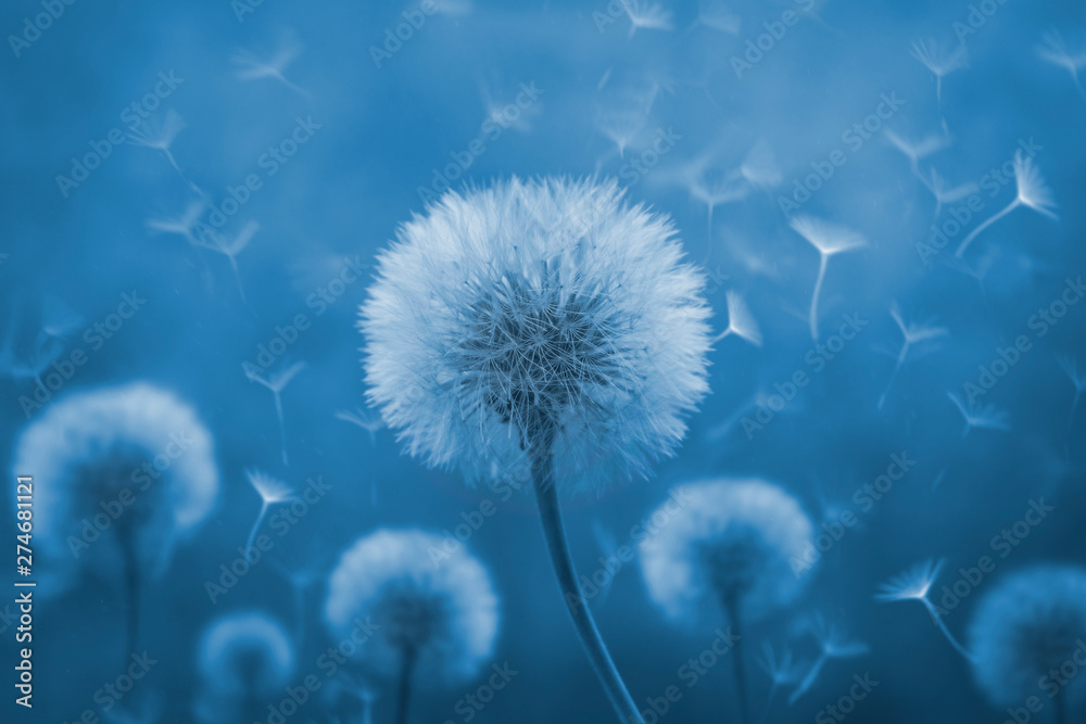Fototapety, obrazy: Dandelion with its seeds blown by the wind