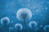 Fototapeta Dmuchawce - Dandelion with its seeds blown by the wind