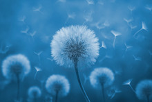 Dandelion With Its Seeds Blown By The Wind
