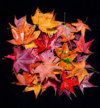 Autumn Red Maple Leaf Isolated On Black Background