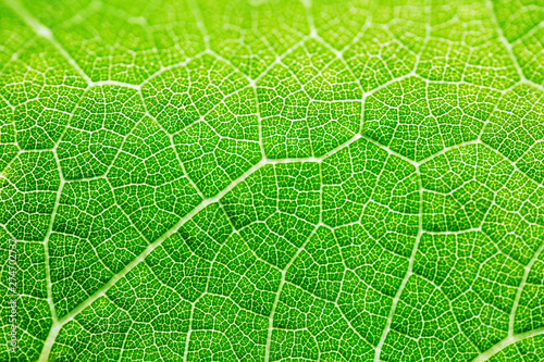 Grape leaf texture, bright green color in sunlight. Macro - 274702737