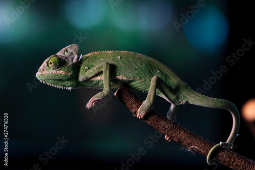 Closed up Veiled Chameleon on the branch with beautiful bokeh. Exotic Tropical reptile and pet.  Skin slough off. #274716328