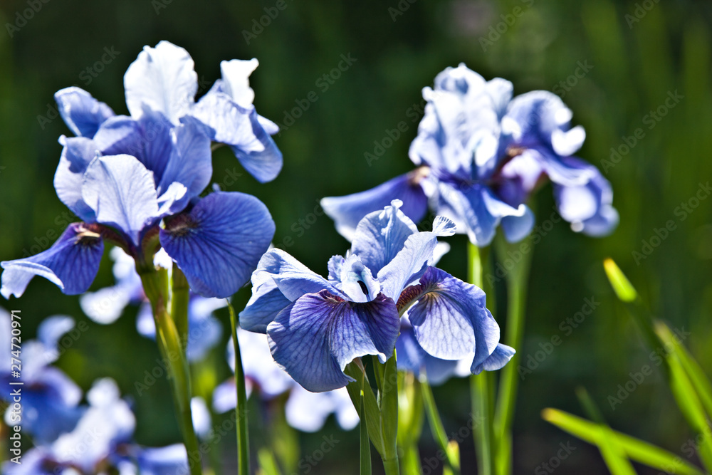 Fototapety, obrazy: Blue iris flowers in the garden on a summer day on black background