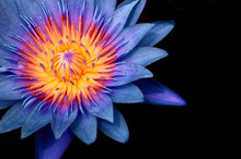 Blue Water Lily,  Blue Lotus Macro Shot Pistil And Stamen Detail Isolated On Black