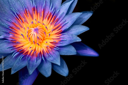 La pose en embrasure Nénuphars Blue Water Lily, Blue Lotus macro shot pistil and stamen detail isolated on black