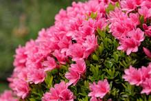 Pink Azalea Flower, In Full Bl...