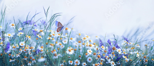 Staande foto Vlinder Beautiful wild flowers chamomile, purple wild peas, butterfly in morning haze in nature close-up macro. Landscape wide format, copy space, cool blue tones. Delightful pastoral airy artistic image.