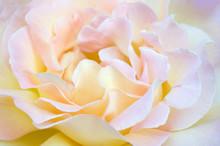 Closeup Of Yellow Rose. Beautiful Yellow Rose Macro