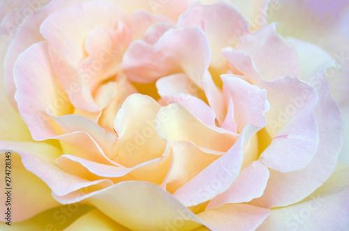 Fotomural  Closeup of yellow rose. Beautiful yellow rose macro