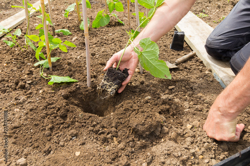 Gardener planting a runner bean plant in to a prepared hole in soil Canvas