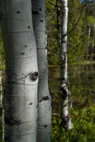 Garden Poster Birch Grove Aspen Tree