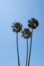 Three Tall California Fan Palm...