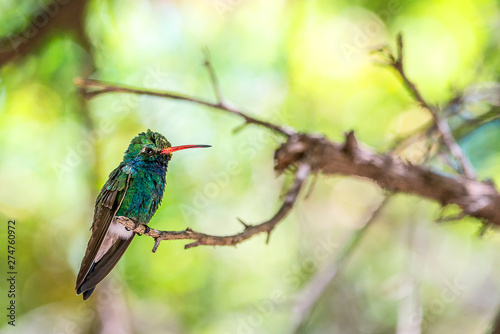 Hummingbird perched in a tree Canvas Print