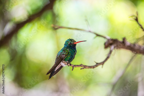 Photo  Hummingbird perched in a tree