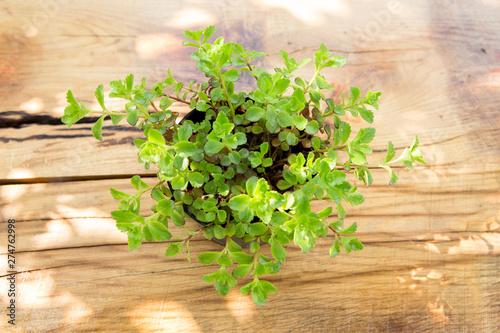 Fototapeta Plant in pot on the wooden table gardening concept obraz