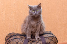 Gray Cat Sits On A Suitcase. W...