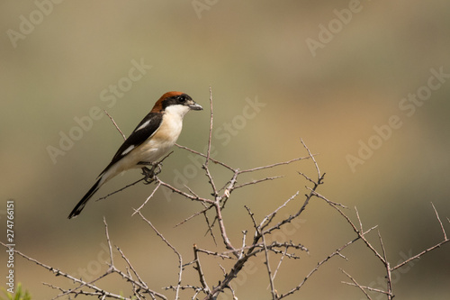 Fotografering Stunning bird photo. Woodchat shrike / Lanius senator