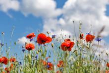 Summer Landscape With Wild Poppies