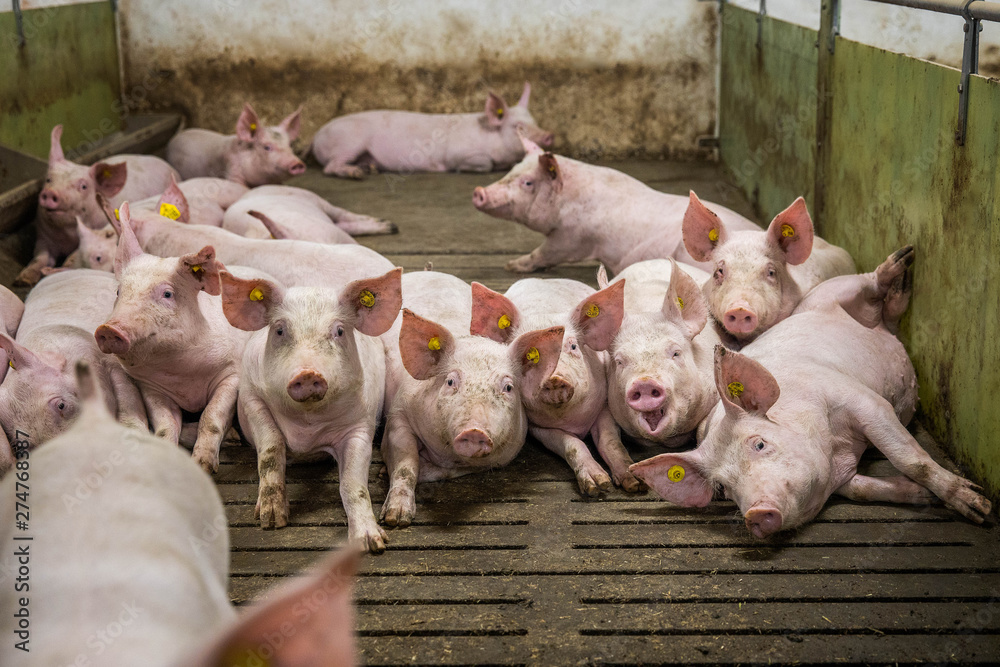 Fototapety, obrazy: Pigs on the farm. Happy pigs on pig farm