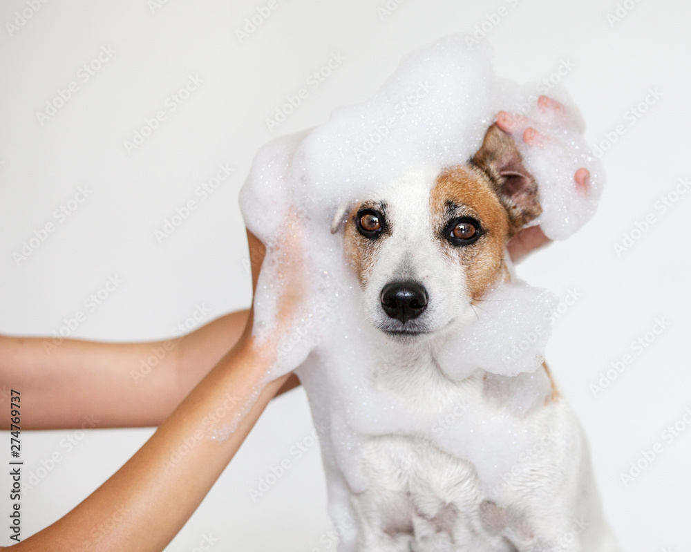 Fototapeta Dog washes with soap in bath