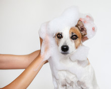 Dog Washes With Soap In Bath