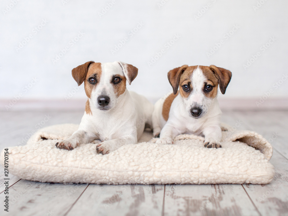 Fototapety, obrazy: Two dogs lying on pillow