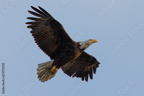 In de dag Eagle Closeup of a bald eagle flying, seen in the wild in North California