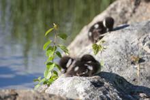 Young Birds Of Common Goldeneye (Bucephala Clangula) Sleeping On The Rocks Under The Little Plant