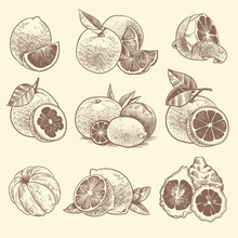 Sketch Citrus. Oranges, Lemons And Grapefruit, Lime. Citrus Fruits And Flower With Leaves. Hand Drawn Vintage Botanical Vector Set