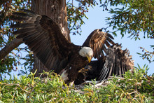 Bald Eagle  Sharing Food With Her 3-months  Eaglet, Seen In The Wild In  North California