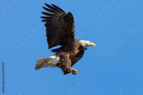 Photo  Closeup of a bald eagle flying with food on her talons, seen in the wild in  Nor