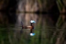 Swimming Cute Duck. Natural La...