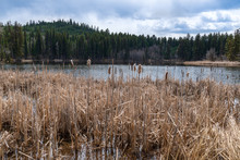 Cattails Growing Along The Shore Of Isobel Lake, British Columbia, Canada