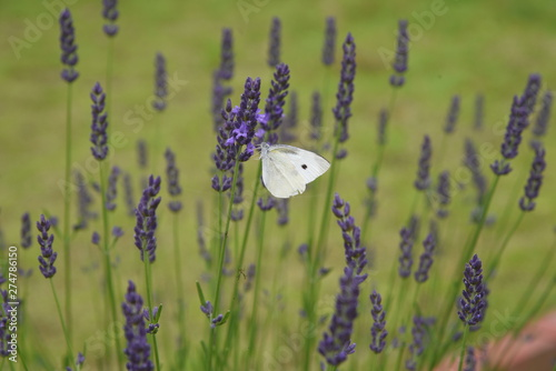 Fotografija  Lavandin Grosso is a flower that is the raw material for aroma oils