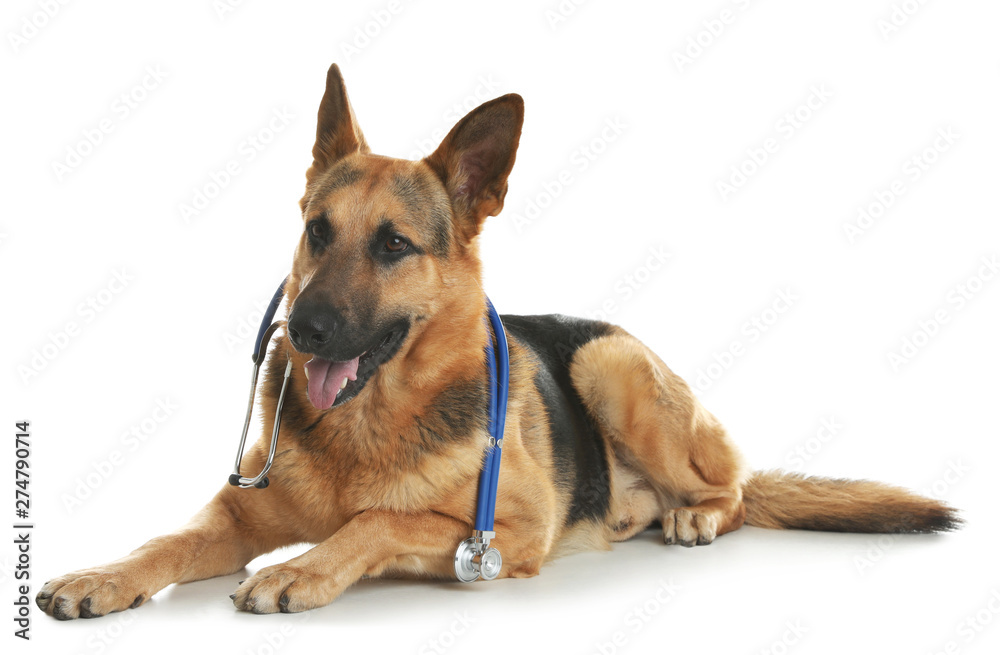 Fototapety, obrazy: Cute dog with stethoscope as veterinarian on white background