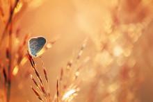 Little Gray Butterfly On Grass In Warm Light Of Sunset