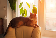 Abyssinian Cat At Window. Clos...
