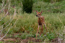A Wobbly White-tailed Deer Faw...