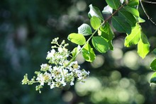 White Crepe Myrtle Blossoms In Sunlight