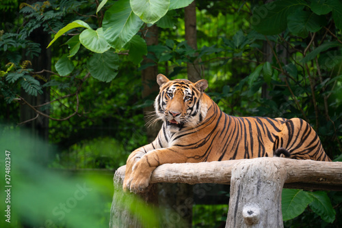 Photographie bengal tiger lying  down