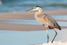 Great Blue Heron On A Beach In Florida Waves In The Background.