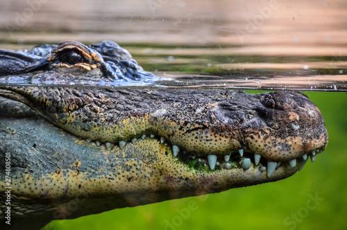 Foto op Plexiglas Krokodil Amphibian Prehistoric Crocodile